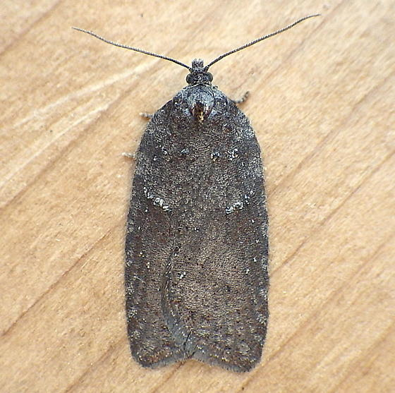 Tortricidae: Unknown Acleris - Acleris