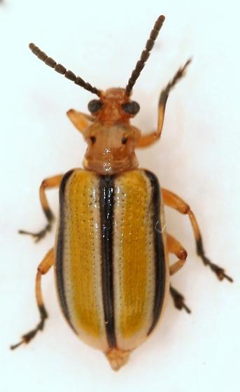 Ten-lined Lema Beetle - Lema trivittata