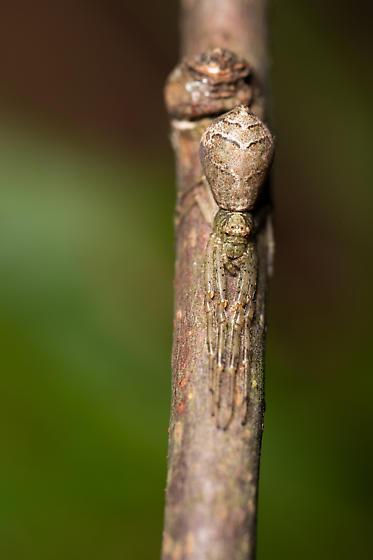 Unknown - Tmarus - female