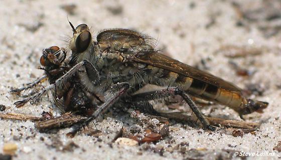 Fly eat fly: Triorla interrupta - Triorla interrupta - male