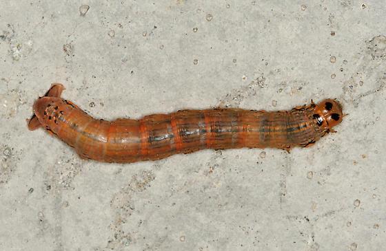 omnivorous looper caterpillar sabulodes aegrotata bugguide net. Black Bedroom Furniture Sets. Home Design Ideas
