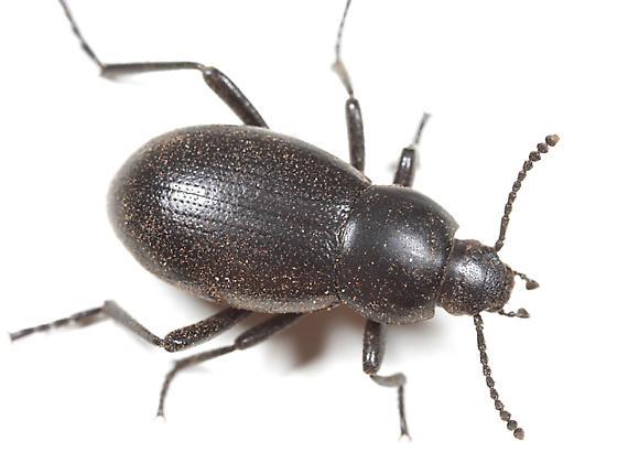 Darkling Beetle - Eleodes