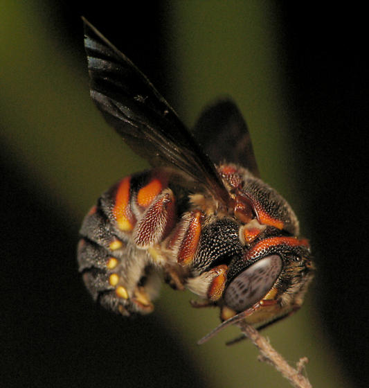 Have I got a Megachilid for you!!! - Anthidiellum perplexum - male