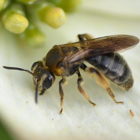 Andrena, perhaps, on Cornus florida - Andrena alleghaniensis