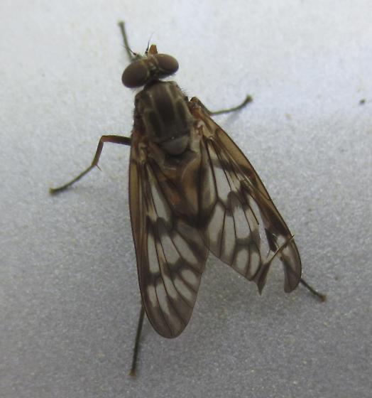 Common Snipe Fly (Rhagio mystaceus)? - Rhagio mystaceus - female