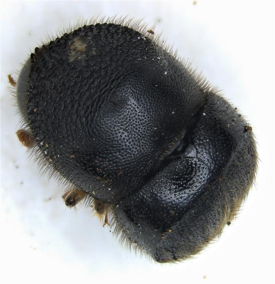 Cnestus mutilatus - female