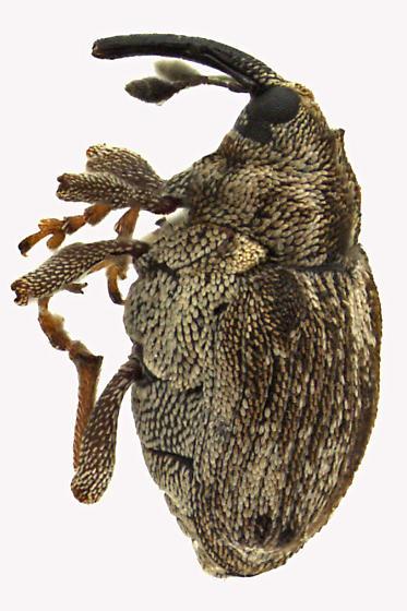 Weevil beetle - Ceutorhynchus oregonensis