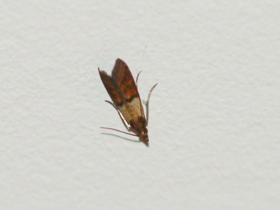 Moths In My House Plodia Interpunctella Bugguidenet