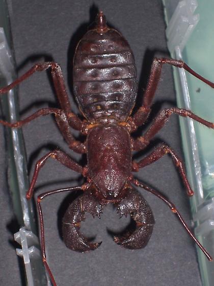 Whip scorpion? - Mastigoproctus giganteus