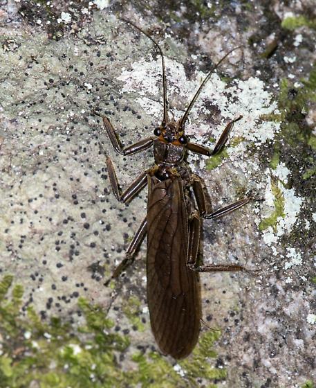 Plecoptera?