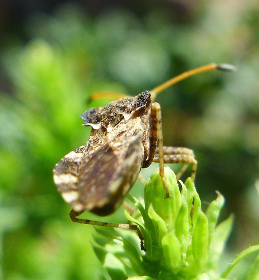 Shield bug - Centrocoris variegatus