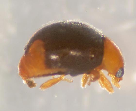 Unknown Beetle - Diomus roseicollis