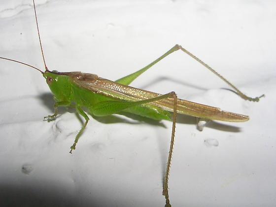 Katydid ID Please - Conocephalus fasciatus - male
