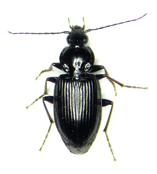 Agonum melanarium - male