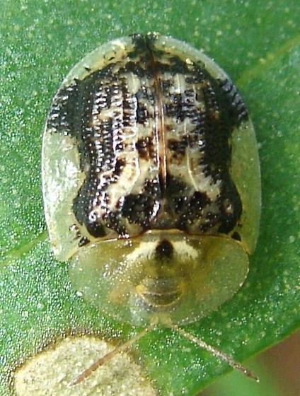 Cassida piperata