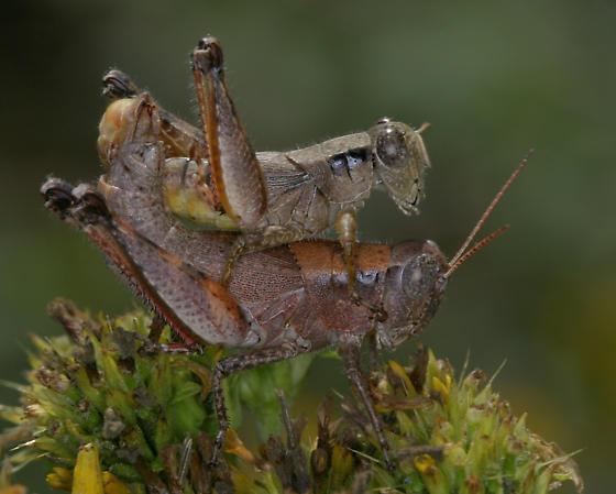 Scudder's Short-winged Grasshopper - Melanoplus scudderi - male - female