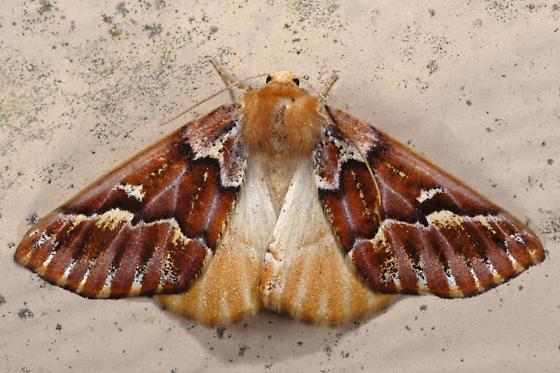 Unknown moth - Caripeta aequaliaria