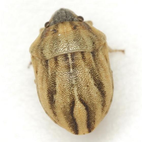 Homaemus parvulus (Germar) - Homaemus parvulus