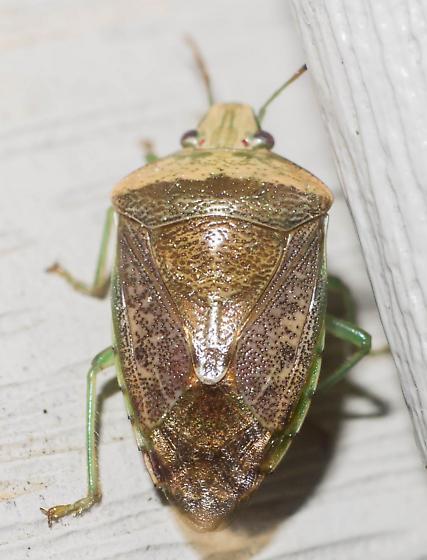 Brown-winged green stink bug - Banasa calva