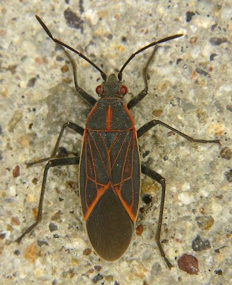 Western Box Elder Bug - Boisea rubrolineata