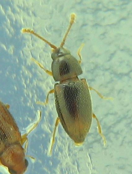 pointy-caud brown beetle - Atomaria nigrirostris