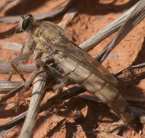 Light brown robber fly - Scleropogon helvolus