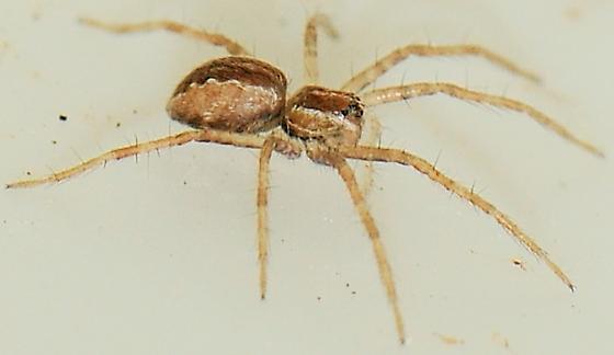 Pisaurina mira - Nursery Web Spider - Pisaurina mira