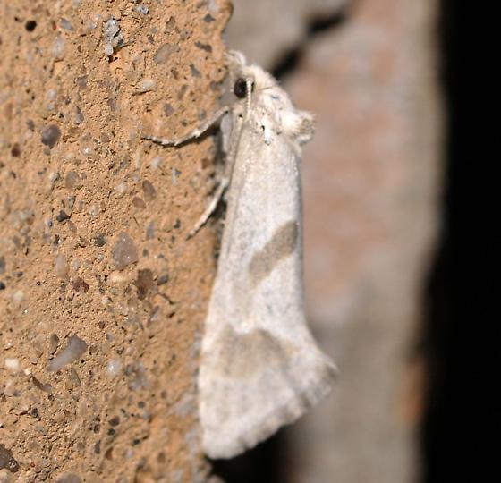 Moth - Eugnosta willettana