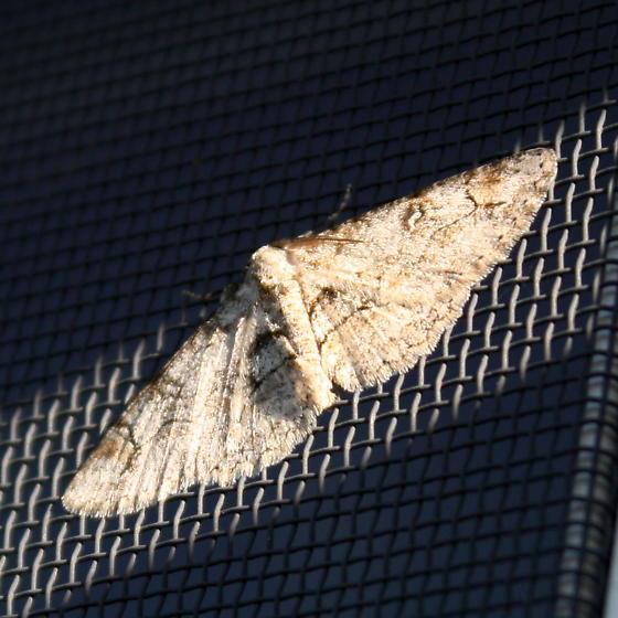 small brown moth - Iridopsis larvaria