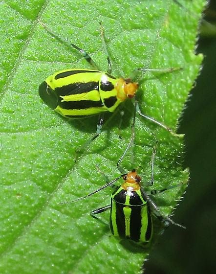 Four-lined Plant Bugs - Poecilocapsus lineatus