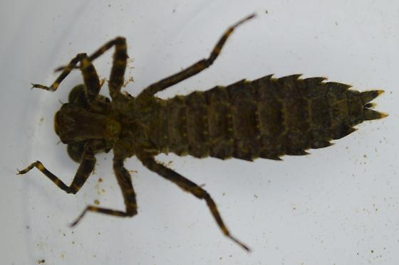 Dragonfly Nymph - Boyeria grafiana