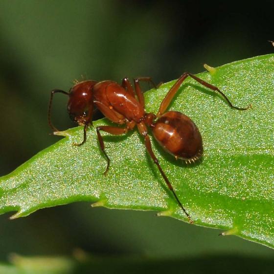 Ant - Camponotus castaneus