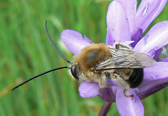 Eucera (Synhalonia) - Eucera - male