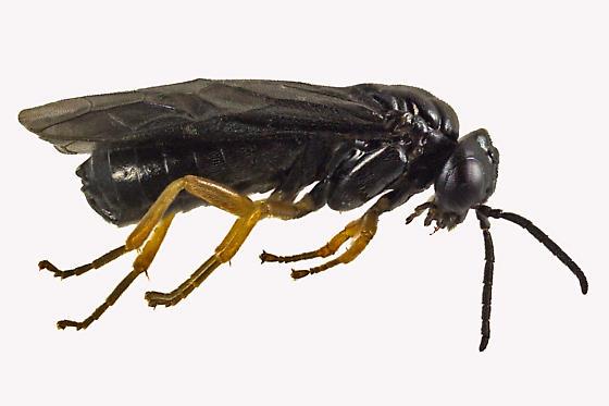 Common Sawfly - Nesoselandria morio