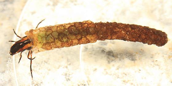 Caddisfly - Psilotreta labida