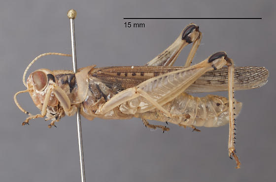 Acrididae 3 - Melanoplus sanguinipes - male