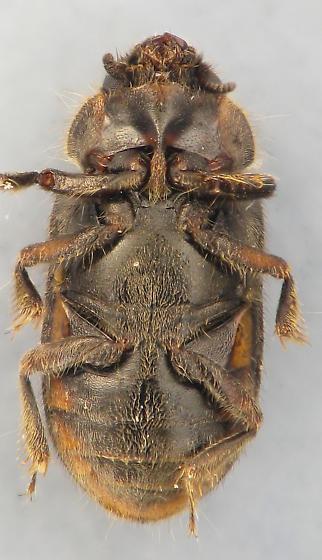 mud beetle #3 - Heterocerus mollinus