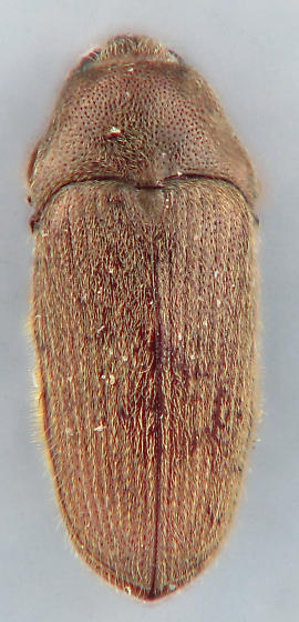 Trixagus chevrolati