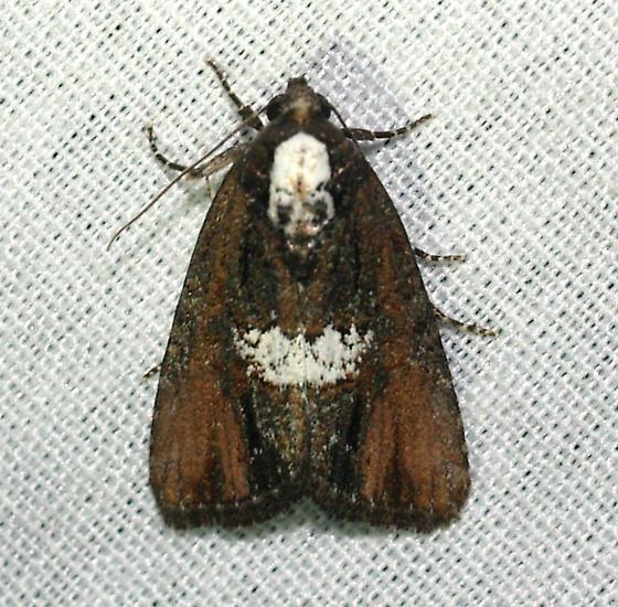 Moth - Bryolymnia semifascia