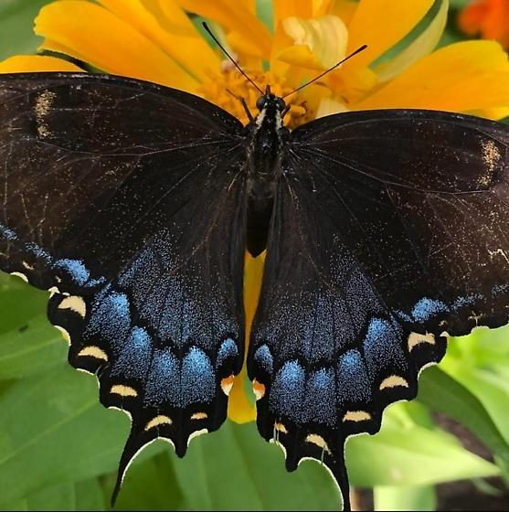 Tiger Swallowtail, black form? - Papilio glaucus - female