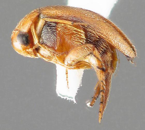 Mordellistena andreae