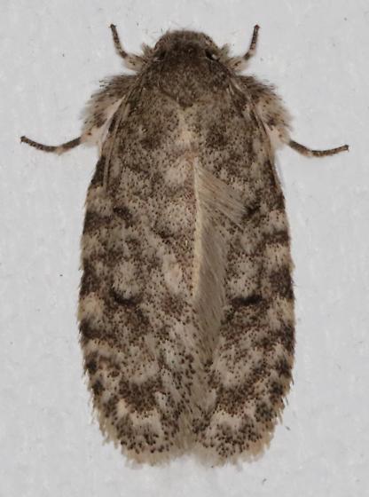 Tiquadra inscitella - Hodges#0427 - Tiquadra inscitella