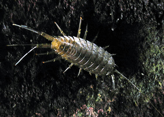 Salt Water Insect - Ligia