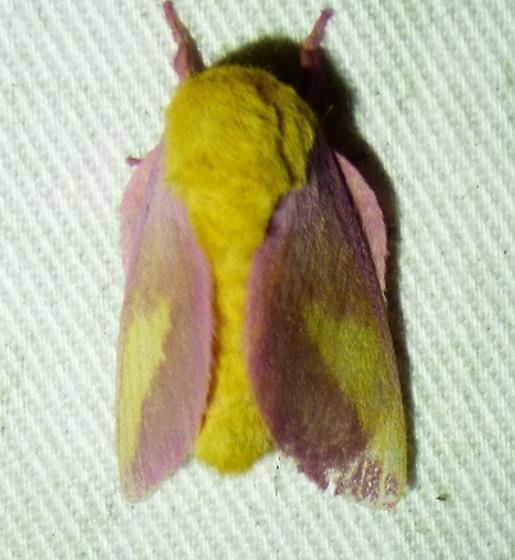 Dryocampa rubicunda Rosy Maple Moth - Dryocampa rubicunda