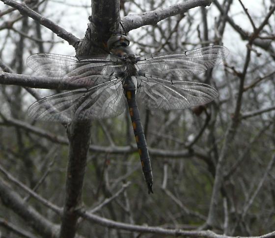 Dragonfly - Epitheca