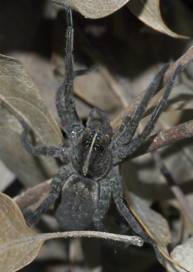 Gray spider on the ground - Tigrosa