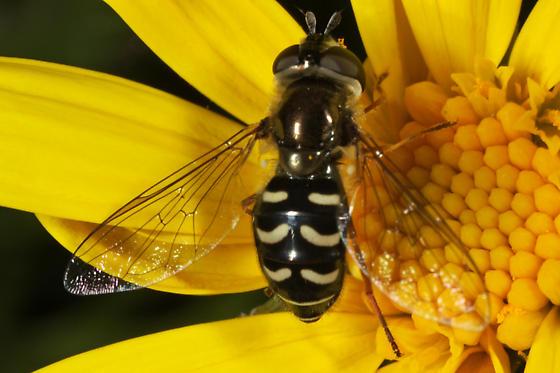 Eupeodes volucris ? - Eupeodes volucris - female