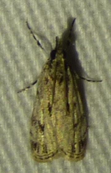 Eudonia strigalis - Striped Eudonia - Eudonia strigalis