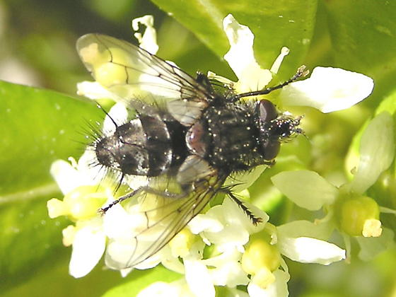 Ugly fly to ID if possible
