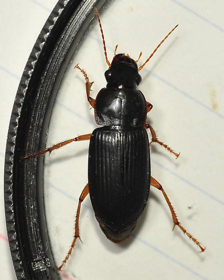 Black shelled beetle - Harpalus pensylvanicus - female